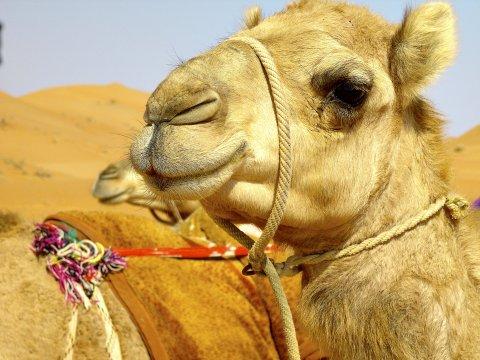 Camel Wahiba
