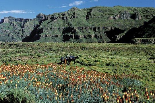 Fackellilien in Lesotho