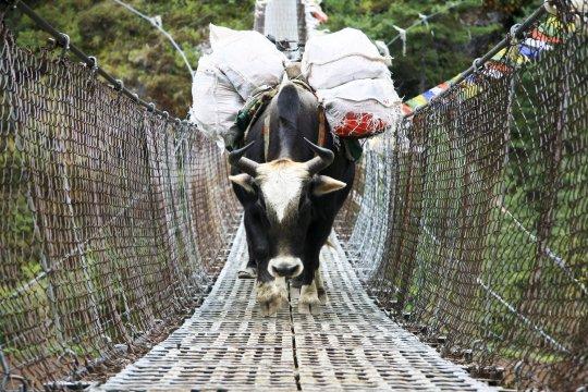 Beladenes Yak auf Hängebrücke
