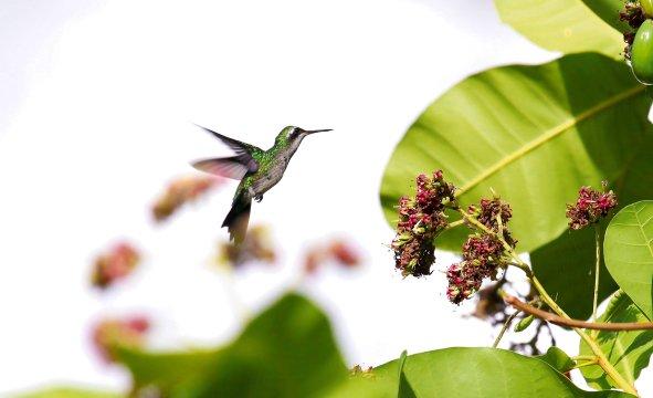 Kolibri in NicaraguaKolibri Nicaragua