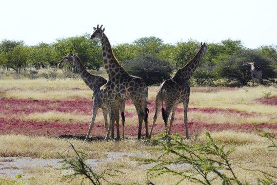 Giraffenfamilie Etosha_2