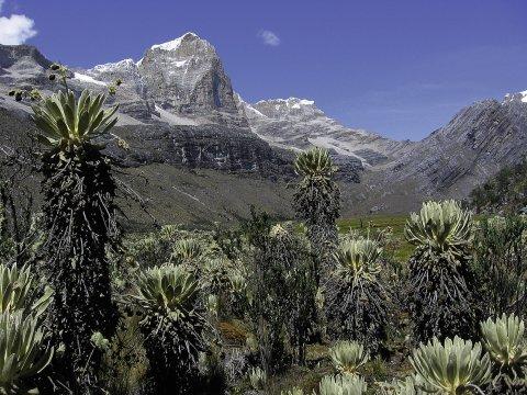 S.N. del Cocuy, Frailejones im Valle de los Cojines