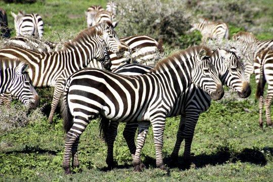Zebras_5