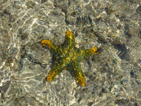 Gelb-güner Seestern Chumbe Island