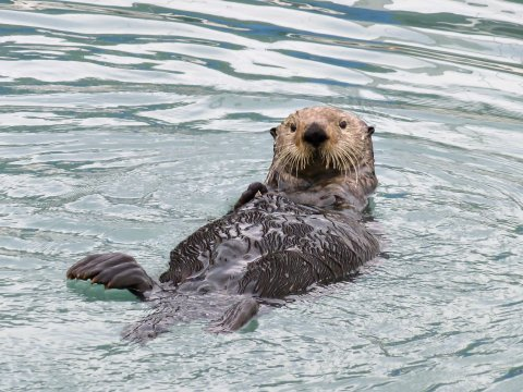 Seeotter in Alaska