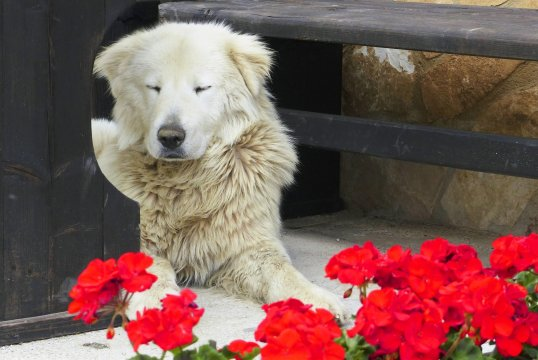 Beschuetzender Abruzzenhund_2