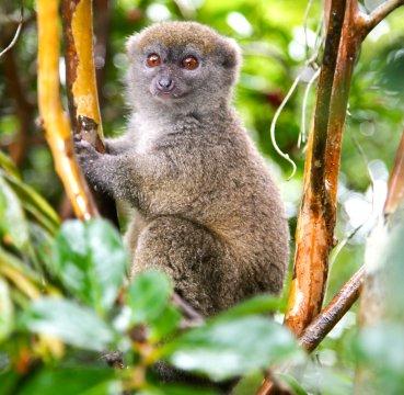 Grauer Bambus-Lemur_2
