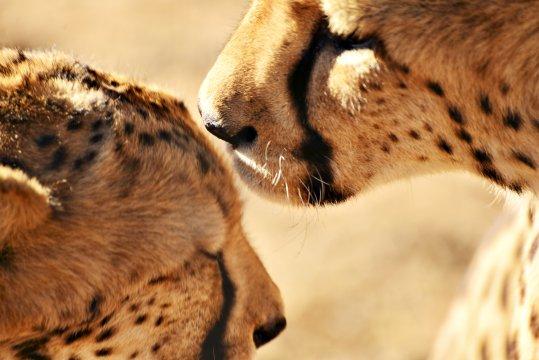 Gepardenliebe_2