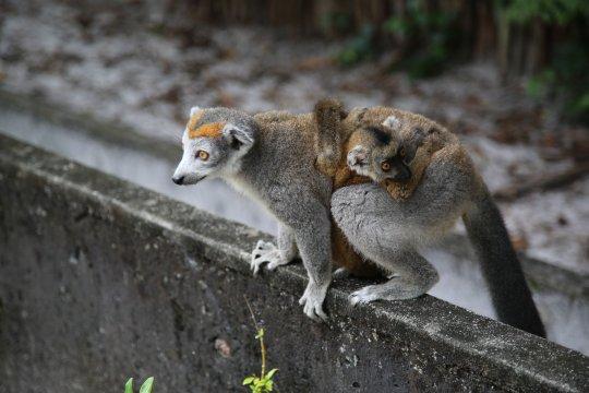 Madagaskar-Kronenmaki