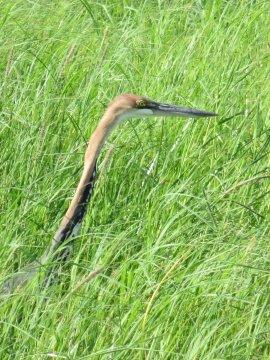 Botswana-Heron-Chobe-Nationalpark