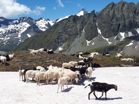 sterreich-Alpen-Großglockner-Schafe