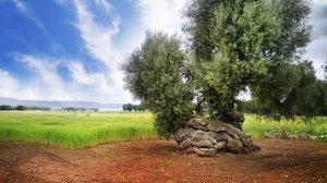 Knorriger Olivenbaum