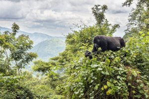Gorilla Gipfel