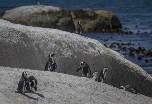 Suedafrika-Simonstown-Pinguine