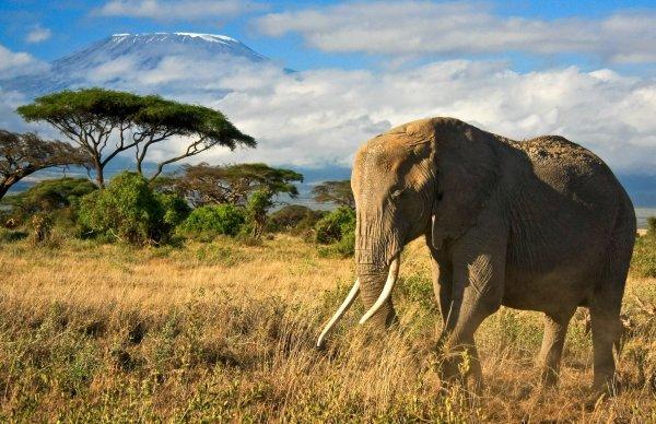 Kenia - Elefant im Amboseli-Nationalpark; Foto: Dmussman/Shutterstock.com